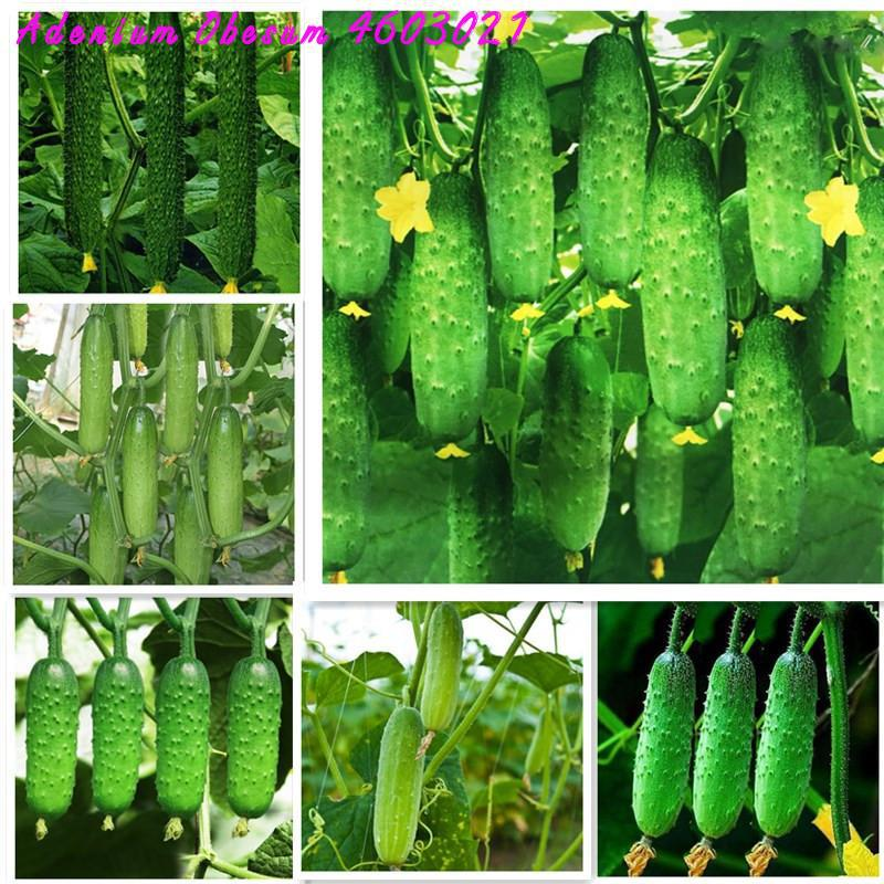 Best selling 100 Pieces of cucumber bonsai rare non-GMO delicious cucumber fruits and vegetables autumn home gardening planting