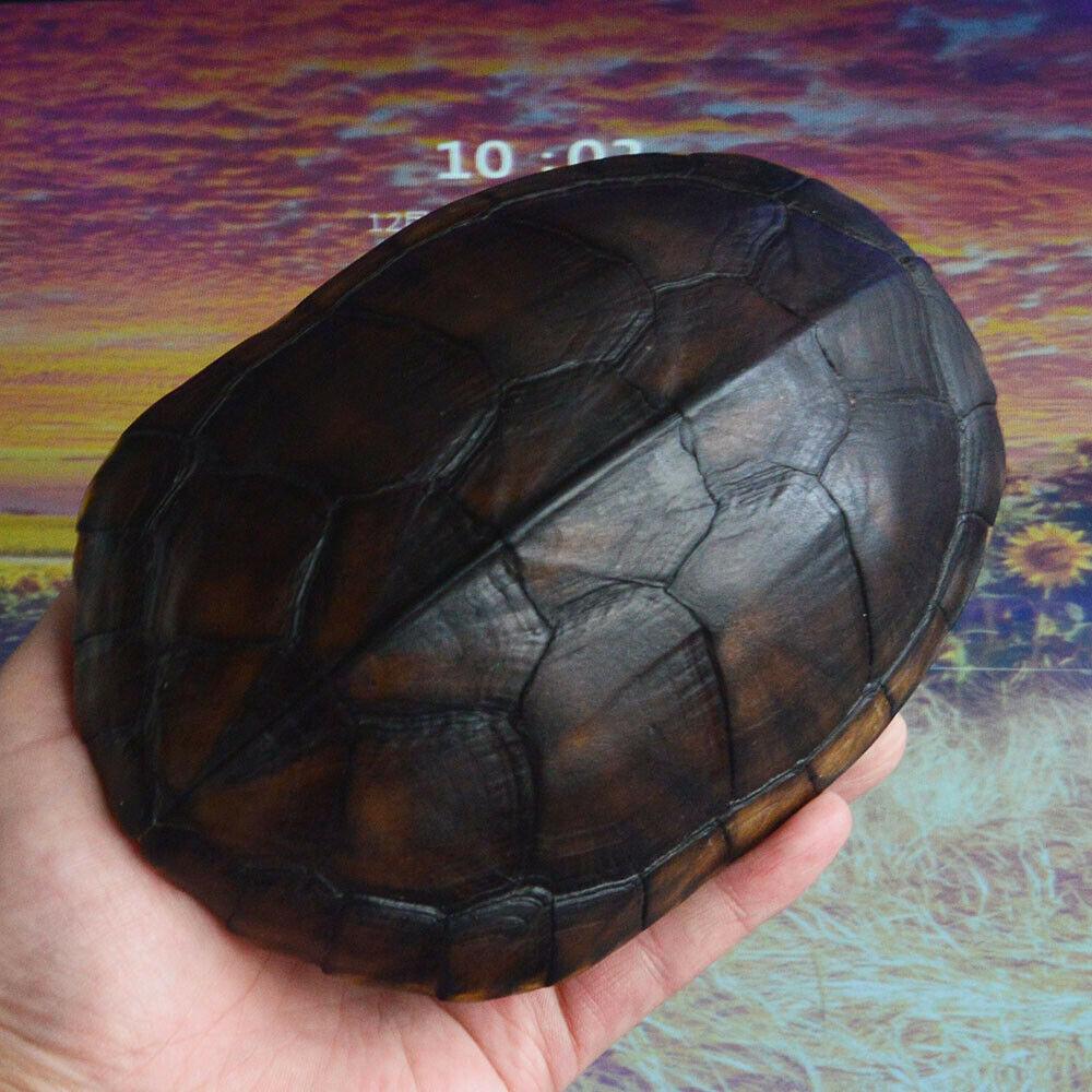 1Pcs Mauremys Mutica Turtle Turtle Shell True Specimen Turtle Shell, Taxidermy 17-20CM