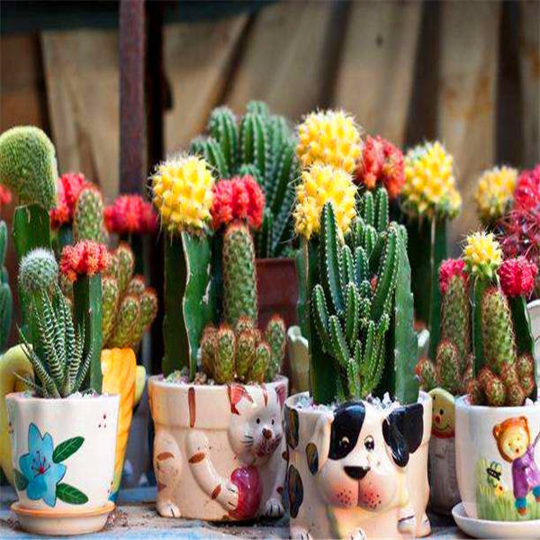 Promotion! 500 Pcs Rare Cactus Plant Japan Best Selling Succulent Flower Bonsai Plant Indoor Plant Home And Garden Decoration