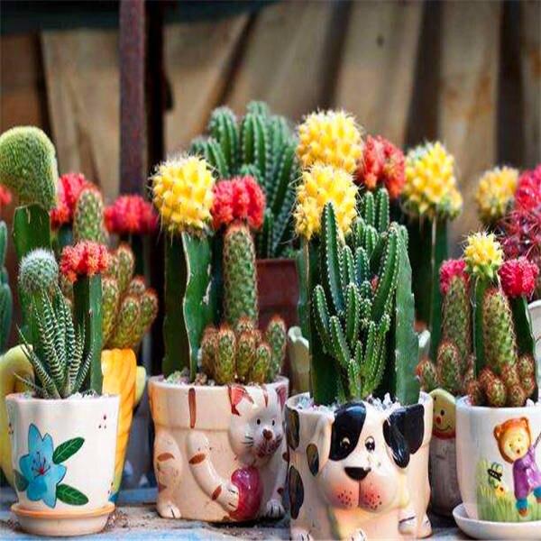 Promozione! 500 Pcs Rare Pianta Di Cactus Giappone Migliore Vendita Succulente Fiore Pianta Bonsai Impianto Al Coperto Per La Casa E Decorazione Del Giardino