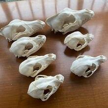 1pcs real animal skull specimen collectibles study unusual halloween