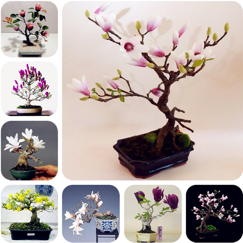 5 Pcs / Lot Magnolia Bonsai Magnolia, Magnolia, Bonsai Magnolia Flowers For DIY Home Ornamental Garden-plant