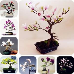 5 pcs / lot Magnolia Bonsai magnolia, magnolia, bonsai magnolia flowers for DIY home ornamental garden-plant