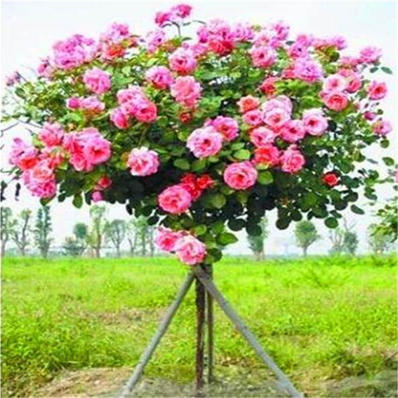 50Pcs Mix-color Rosa Albero Rare Rosa Fiore Bonsai Per La Casa Giardino Piantare In Vaso, Balcone E Cortile Fiore Bonsai Pianta Libera La Nave