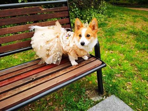 vestido de cão animal estimação gato roupa yorkie maltese poodle