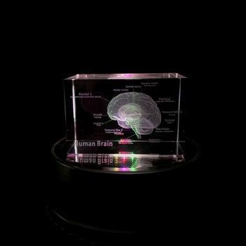 3D Anatomical Human Brain Model Crystal Text Comment School Educational Medical Science Teaching Rotate Colorful Illuminate Base 12316 cmam tf05 human ilium skeleton orthopaedic training model medical science educational teaching anatomical models