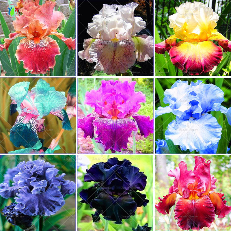 Bonsai Plants 50pcs/bag Rare Iris Flower 24 Colors Heirloom For Home Garden Supplies Decoration Flower Pot
