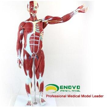 ENOVO Anatomical model of anatomy of human body muscle and internal organs цена 2017