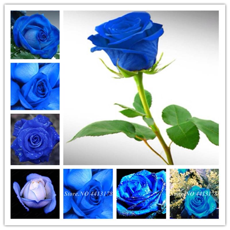100 Pcs Rare Holland Blue Rose Flower Bonsai Home Garden Exotic Flore Plant Rosa Flores For Home Garden Houseplant Planting