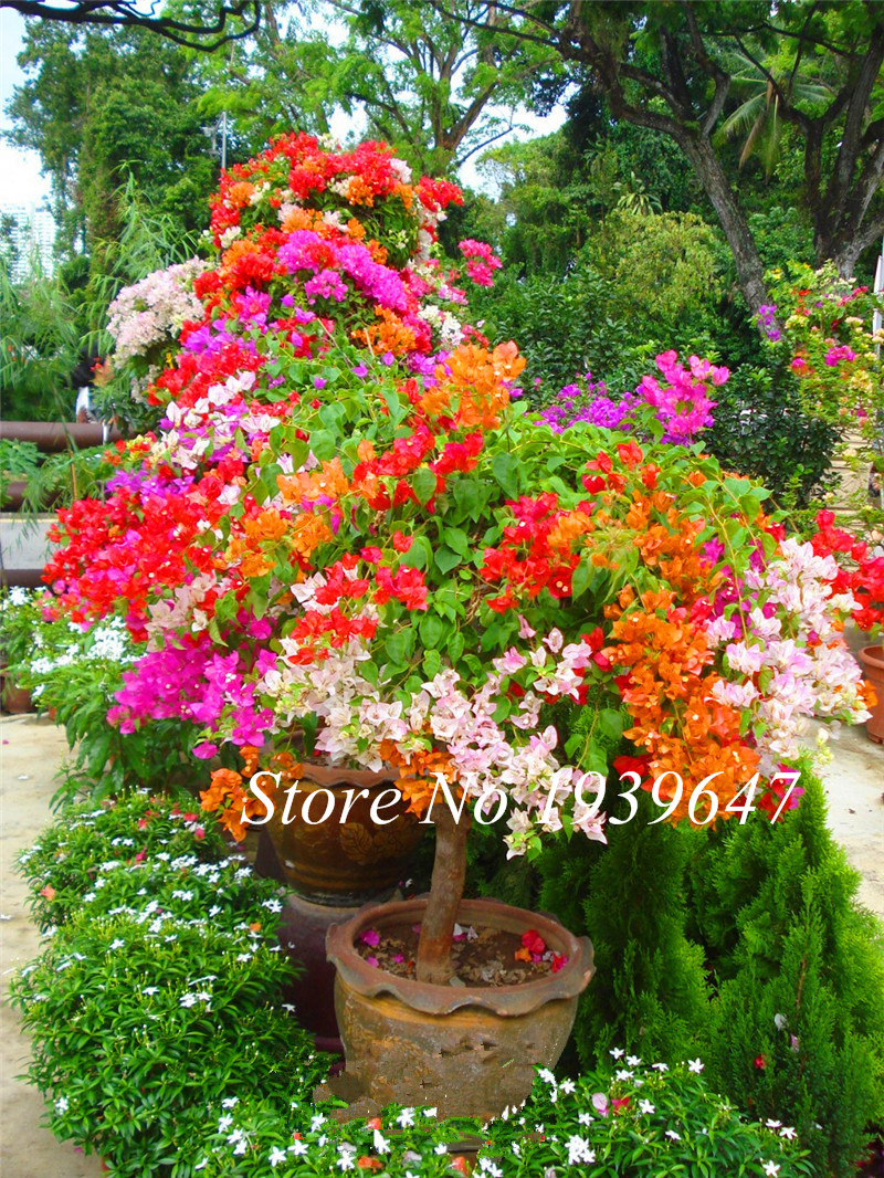 100pcs Color Bougainvillea Balcony Vase, Garden Flower Bonsai Plant Immensely Showy, Floriferous Resistant Plant Free Shipping