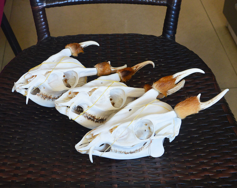 1Pcs Natural Real Muntiacus Reevesi/Muntiacus Muntjak/Muntjac Buck Skull (Gothic-Pagen-Wiccan) Taxidermy