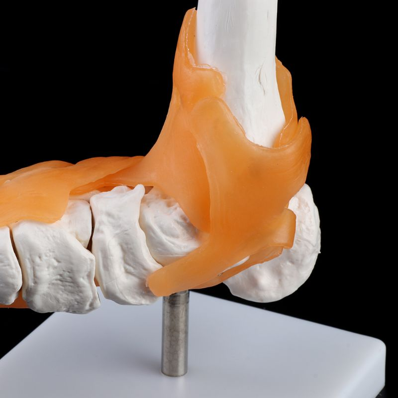 1: 1 Human Skeleton Human Model Joint Medical Anatomy Ankle Ligament Anatomically Teaching Resource Tool LX9A