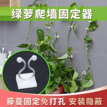 Epipremnum Aureum Climbing Up A Wall Fixed Device Green Vegetation Fixed Device Vine Lv Teng Climbing Wall-Fixed Device Adhesive
