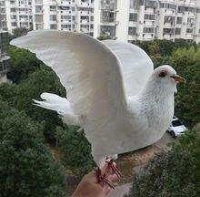 1Pcs real Taxidermy Eurasian white pigeon Columba specimen Teaching / Decoration