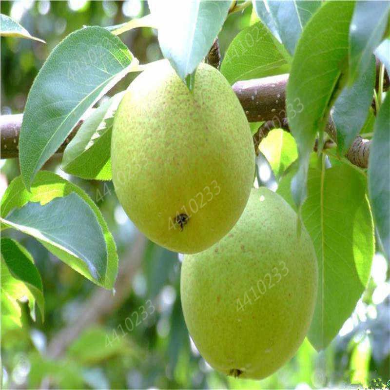 بيع! 10 قطعة نادر الأصلي الفاكهة شجرة الكمثرى Bonsais Planta ، بونساي شجرة النباتات ، نبات نادر للمنزل و حديقة في مهدها معدل 97