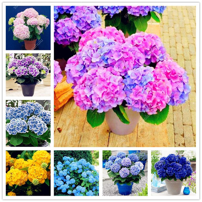30 Pcs Rare Yellow Hydrangea Plants Mixed Hydrangea Flowers Home Plant Bonsai Perennial Viburnum Flower For Home Garden