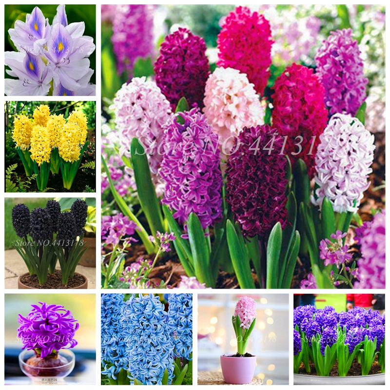 100 Pcs Bonsai Hyacinth Perennial Hyacinth Potted Plant, Indoor Planta Easy Grow In Pots, Bonsai Flower Plants For Home Garden