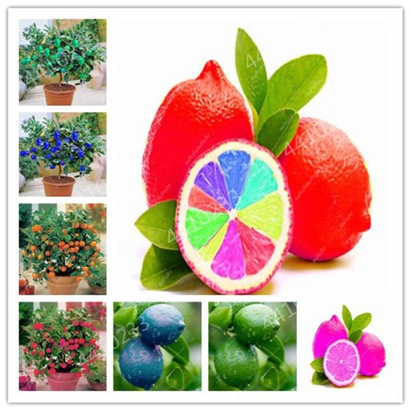 20 Pcs Bonsai Lemon Tree Plants, Mini Edible Fruit Bonsai Tree, Non-GMO Indoor / Outdoor Pot Plants Germination Rate Of 95%