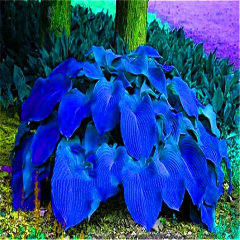 Plant Flower Bath Salts Colorful Hosta Essence 100Pcs XZZ-200