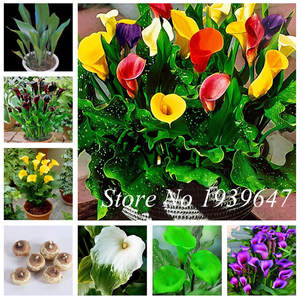 Not-Calla-Bulbs Bonsai Flower Lily Dwarf Natural-Growth Promotion Home 200pcs Great