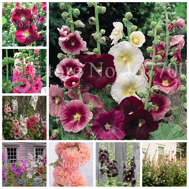 100 Pcs Hot Hollyhock Bonsai (Alcea Rosea 'Nigra') Mixed Color Flower Outdoor Potted Plant For Garden Home Beautifying Decor