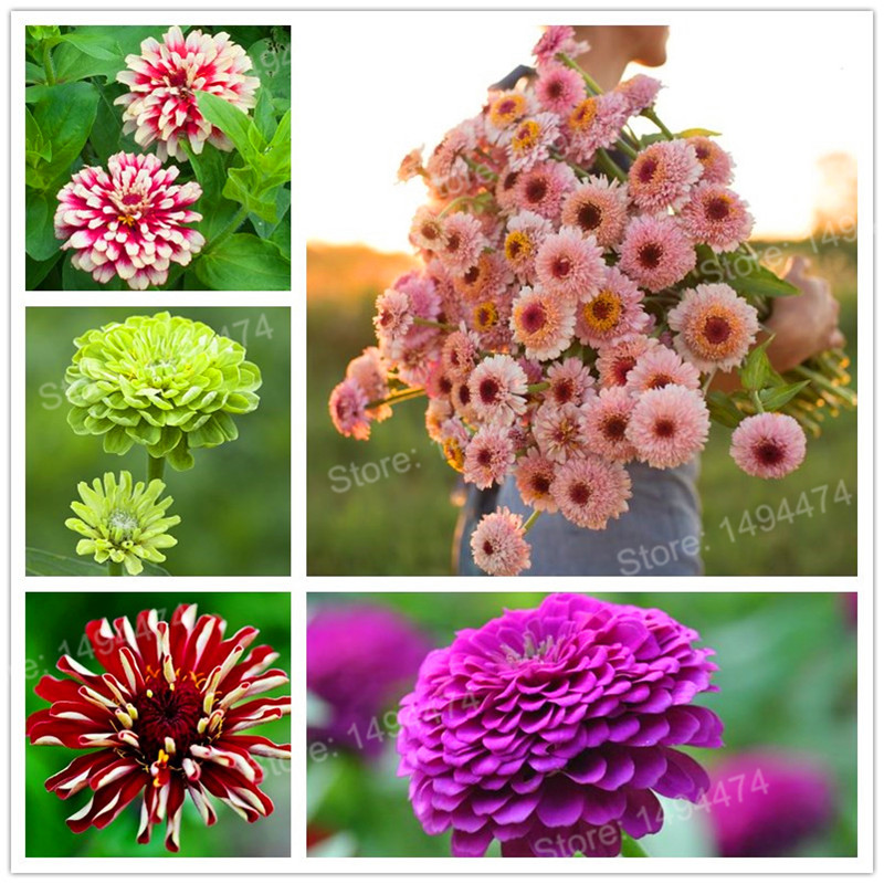 100 Pcs Mixed Color Zinnia Flores, Bonsai Potted Flower Plantas, Rare Spring Flowers Plants For Home Garden