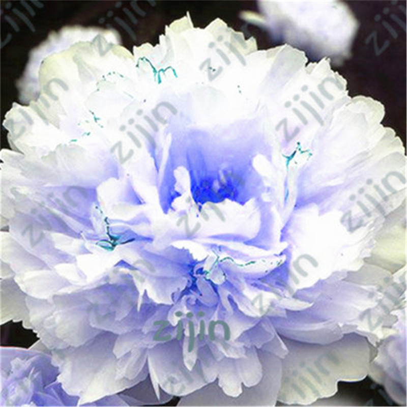 100Pcs  Plant Flowers Bath Salts Multicolor Peony Essence  AN-ZZ22-100