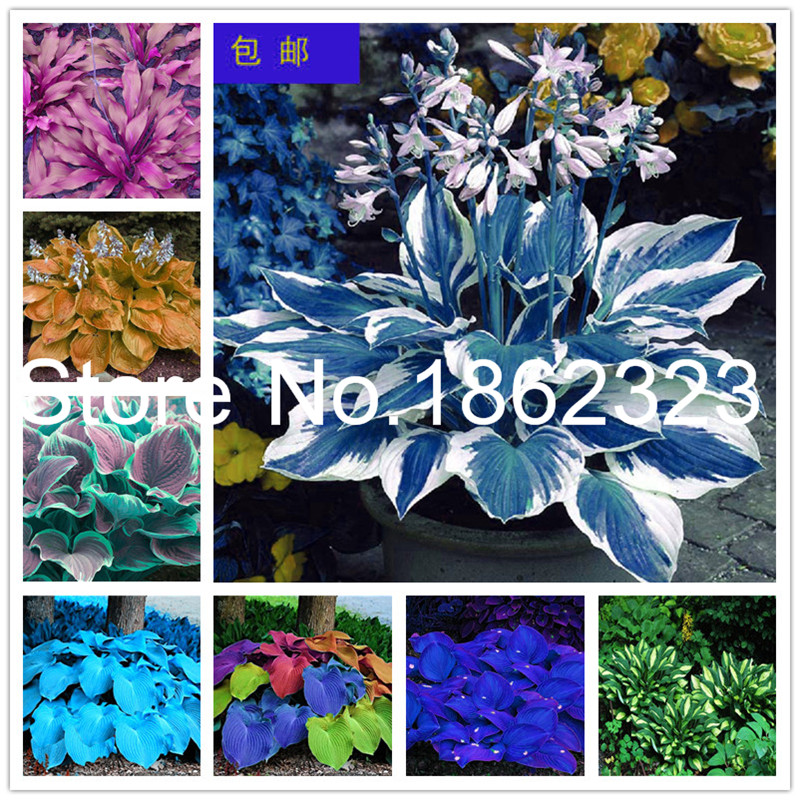 200 Pcs Colorful Hosta Flores Indoor Bonsai Flower Plantas Coleus Genus Planting Potted DIY For Home Garden Decor Perennial