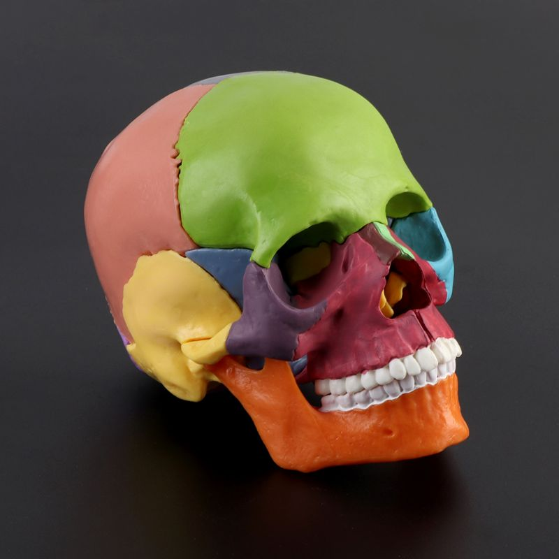 15pcs/set 4D Disassembled Color Skull Anatomical Model Detachable Medical Teaching Tool