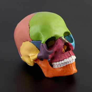 15pcs/set 4D Disassembled Color Skull Anatomical Model Detachable Medical Teaching Tool - DISCOUNT ITEM  18% OFF All Category
