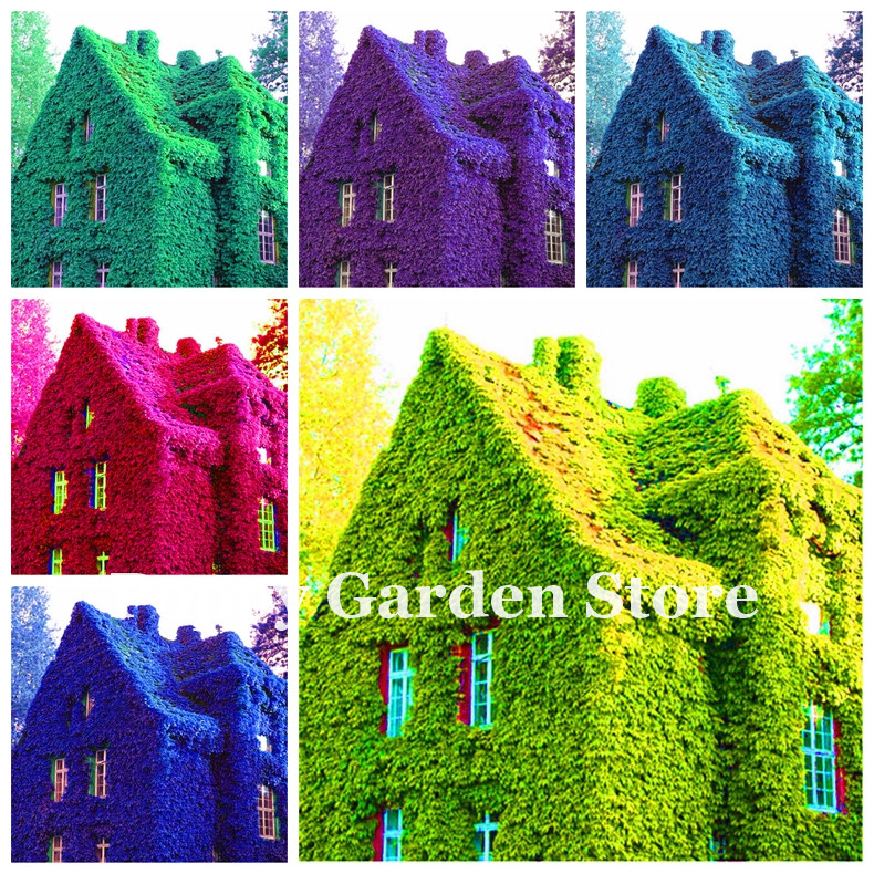 New ! 100 Pieces/Bag Rare Dark Red Blue Boston Ivy Bonsai,Mix Climbing Ivy Plantas For Diy Home & Garden Outdoor Plants Flores