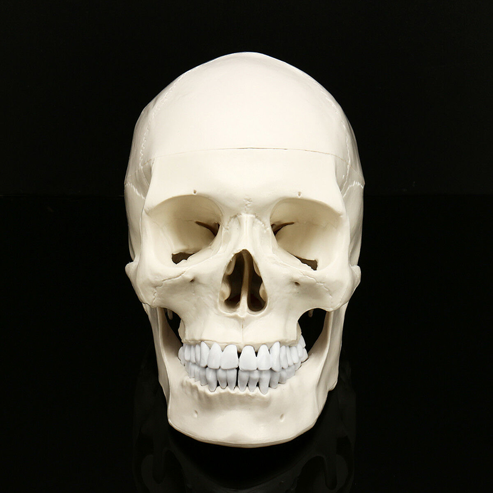 Party Human Skull Model Life Size Equipment Decoration Anatomical Realistic Replica Art Props Skeleton Medical Teaching Tracing