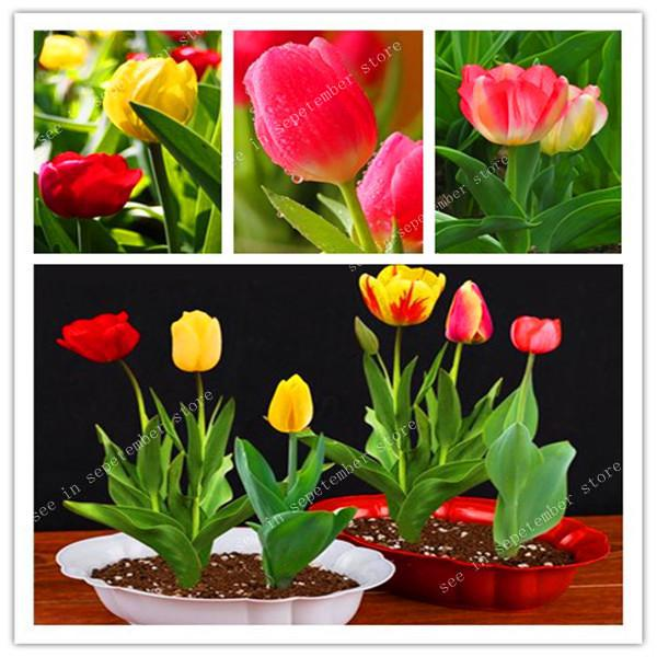 Bonsai 300 Pcs Bonsai Tulip (Not Tulip Bulbs)24 Varieties Rainbow Tulip High-Grade Flower Potted Plant Most Beautiful * Colorful
