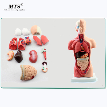 Model 26CM Body Trunk Model Anatomical Organ Model of Human Body System Anatomy Model Medical Teaching model of the uterus genital anatomy model family planning teaching medical model female vagina and uterus model gasen sz023