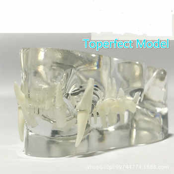 Anatomical Felidae Pathology Jaw Model Medical Cat Mouth and Teeth Anatomy Clear Feline esqueleto anatomia - DISCOUNT ITEM  45% OFF All Category
