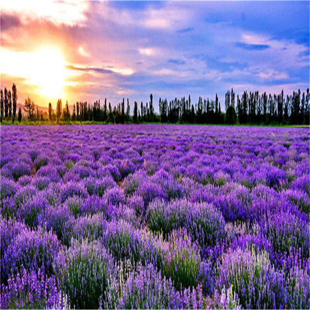 Plant Bath Salts 300Pcs Italian Lavender Flower Essence AN-ZZ32-300 4