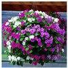 Garden Petunia A11