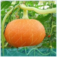20PCS Pumpkin For Grain Barbecue Garden Terrace Potted Vegetable Melon(China)
