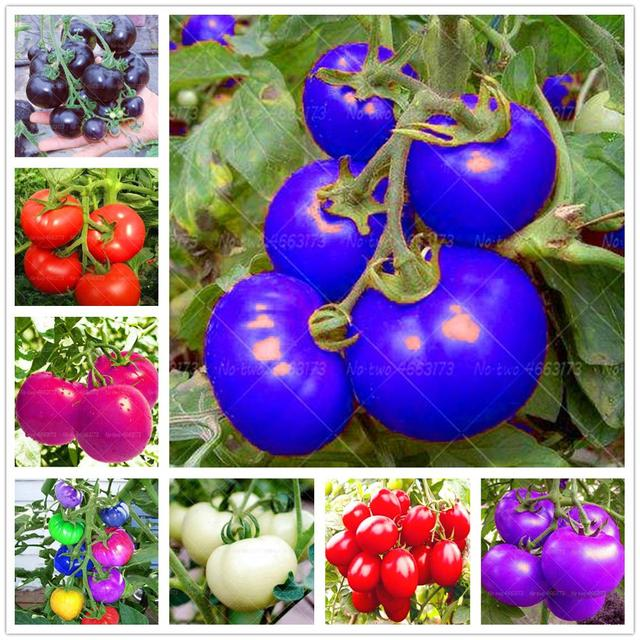 Plant Flower Bath Salts Rainbow tomato Essence 100Pcs XZZ-82