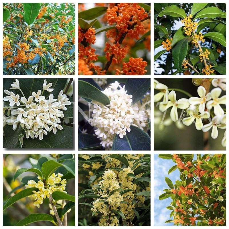 20 Pcs Fragrant Osmanthus Bonsai Sweet Olive Tree Outdoor Cultivated Potted Plants Ornamental Plant For Home Garden Flower Pot