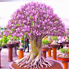 3Pcs colorful Adenium Obesum Trees Seeds Home Nature Garden Bonsai Desert Rose Plants Flower Fragrant Incense