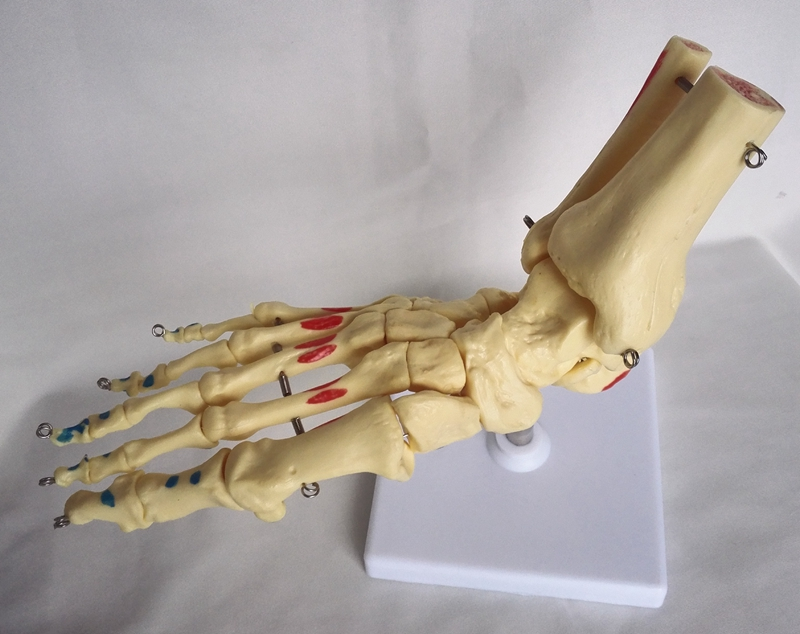 Life Size 1:1 Human Foot Joint Anatomical Model Ankle Joint Model Ankle Joint Skeleton Humans Skeleton Medical Teaching Model