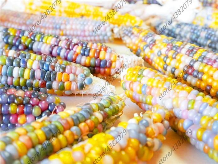 20 Rainbow Corn