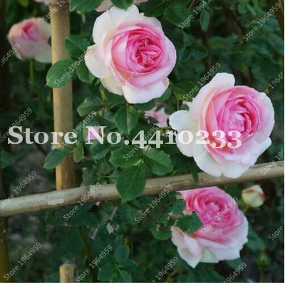 Strip Shrub Rose Flower Plant 200PCS Rare Bush Rose Flower Plant Yello Red Pink Purple Garden Bonsai Exotic Popular Garden