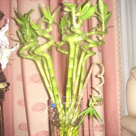 10 قطعة/الحقيبة الغريبة الخيزران بونساي محظوظ Moso بامبو شجرة النبات المنزل والحديقة ديكور بوعاء النباتات المعمرة لزرع وعاء الزهور