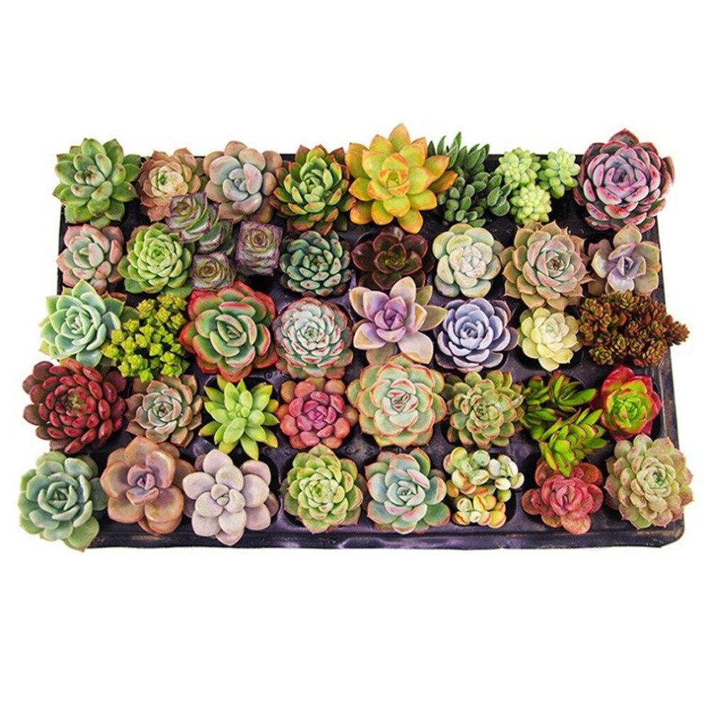 Mix Succulent Lotus Plants Planting Lithops Pseudotruncatella Bonsai Plants For Home & Garden Flower Pots Planters 300pcs/bag