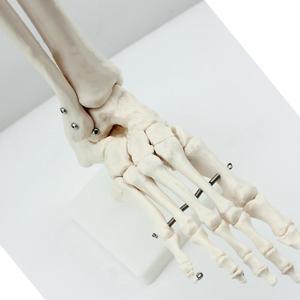 Image 2 - חיים גודל מפרקים ועצמות של רגל האנטומיה אדם רגל וקרסול דגם עם שוק עצם מודלים אנטומיים