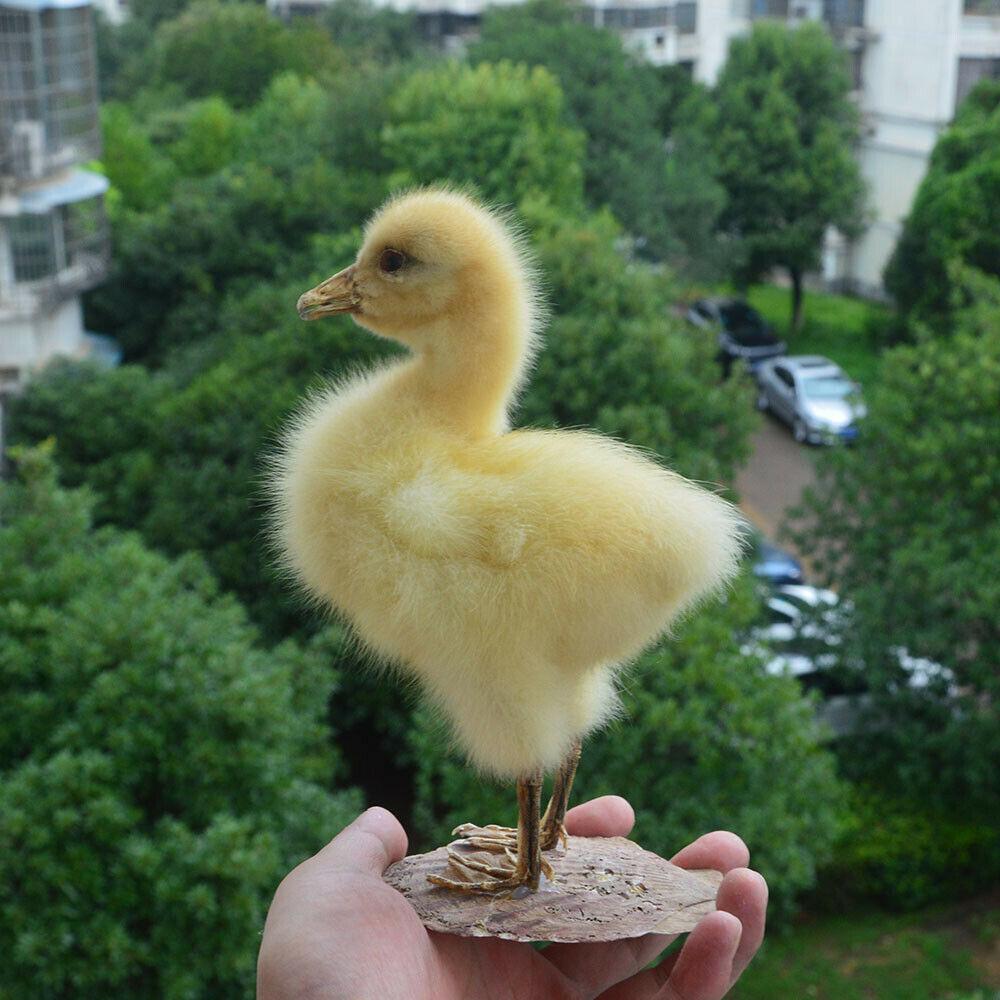 1 pces taxidermia recheio patos eurasianos espécime ensino decoração &