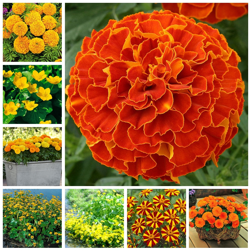 Promotion! Rare Bonsai Marigold Plant 200 Pcs Chrysanthemum Flower Plants Four Season Courtyard For Home Garden Pot Planters