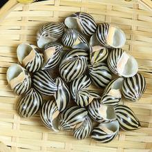 5 sztuk paski muszle morskie muszle morskie muszla wystrój naturalne rzemiosło Ocean ozdoby Party Beach dekoracje ślubne tanie tanio Zwierząt Organiczny materiał MEDITERRANEAN